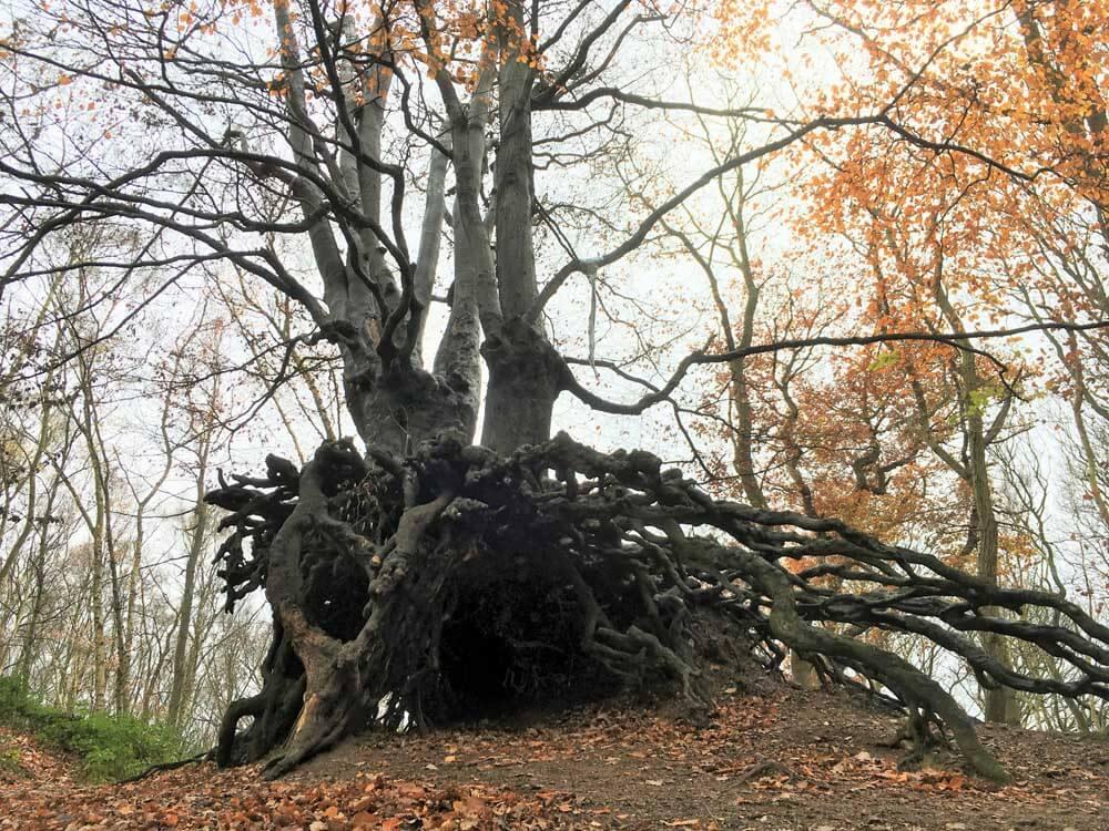 Tree with exposed roots, Mardley Heath Autumn walk Hertfordshire
