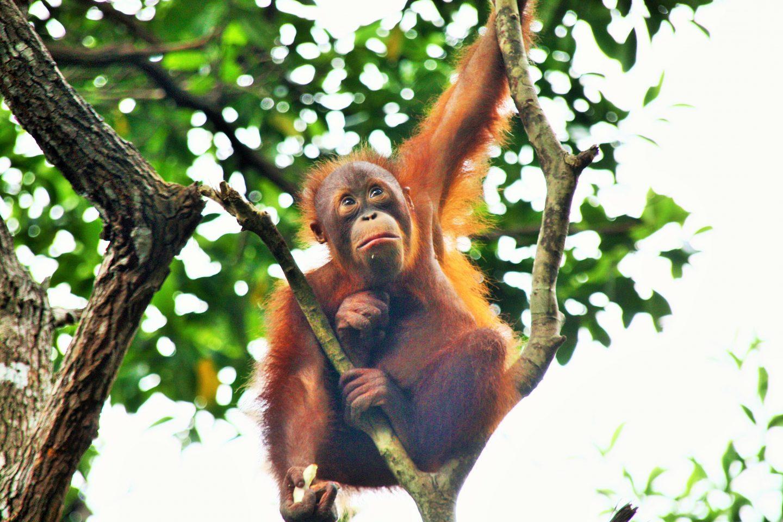 Orangutan borneo holiday