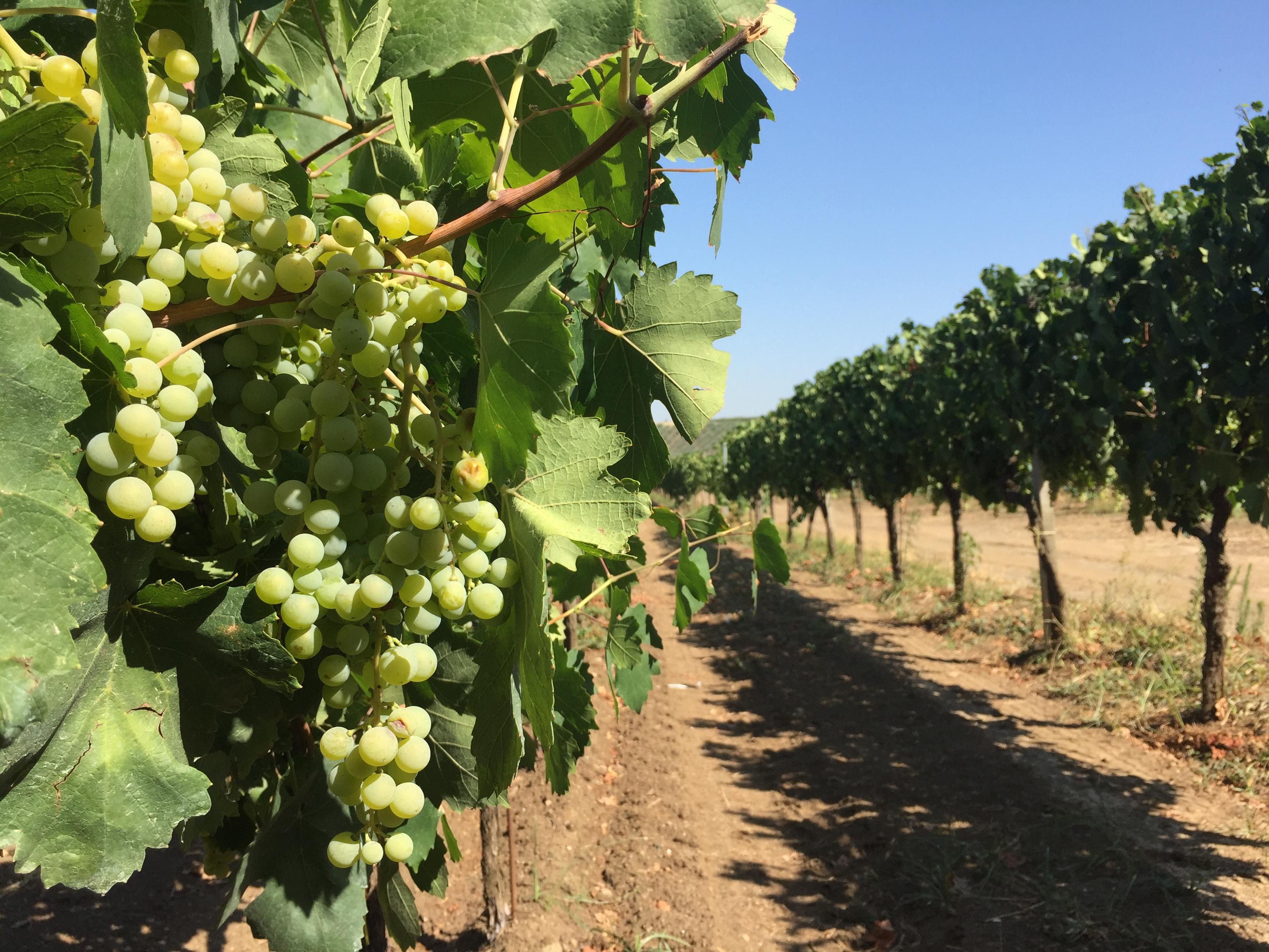 Frascati grapes