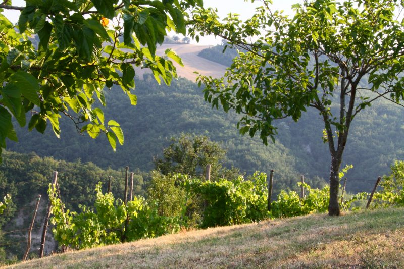 Vines growing on the hills in Le Marche Italy