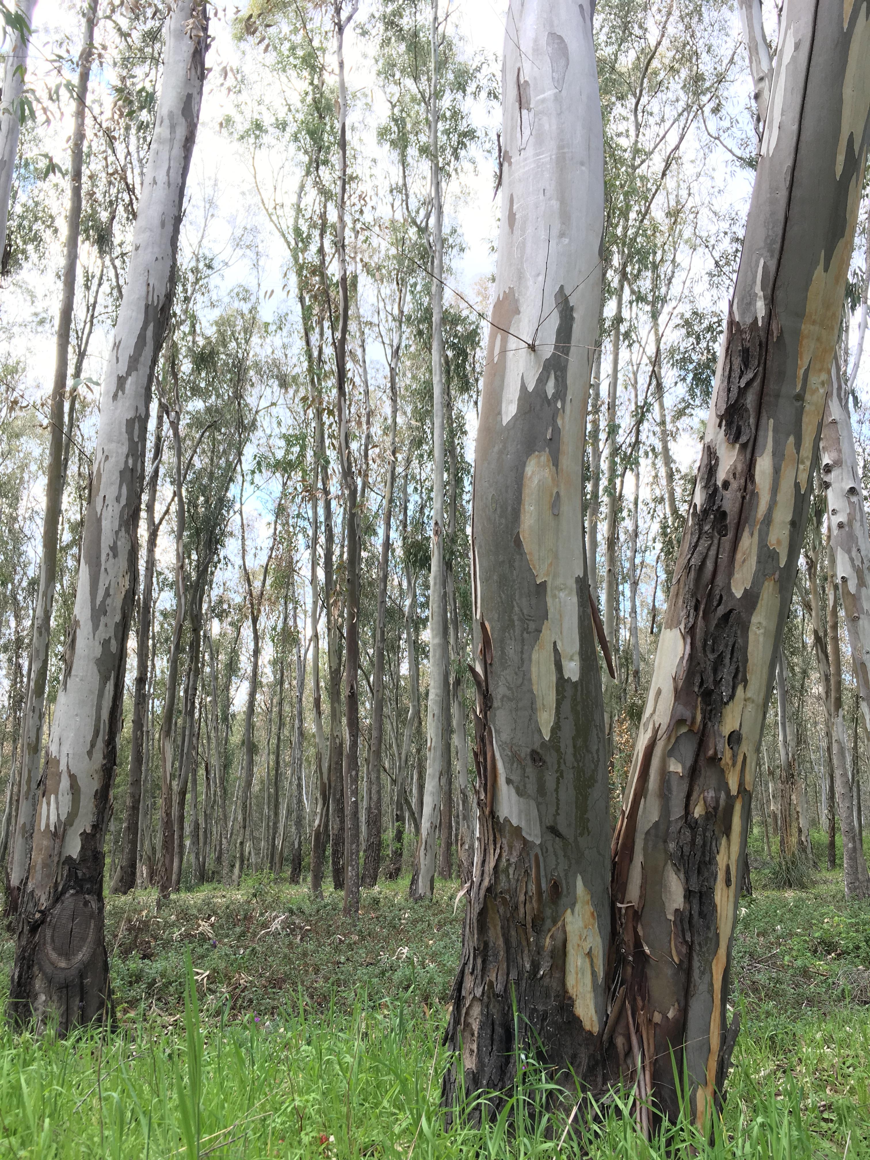 Eucalyptus forest near Enna