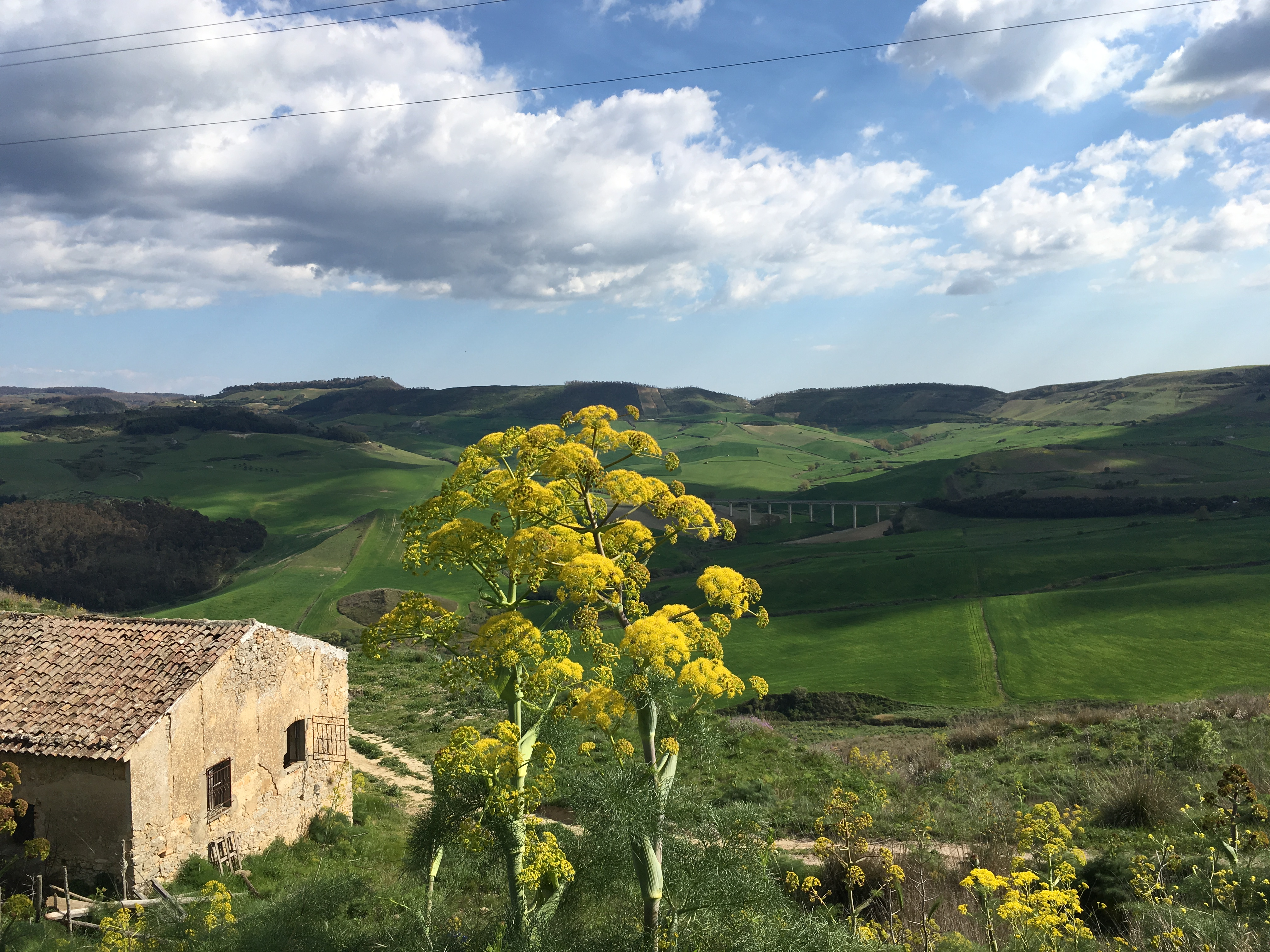Wild fennel overlooking the wheat fields of central Sicily