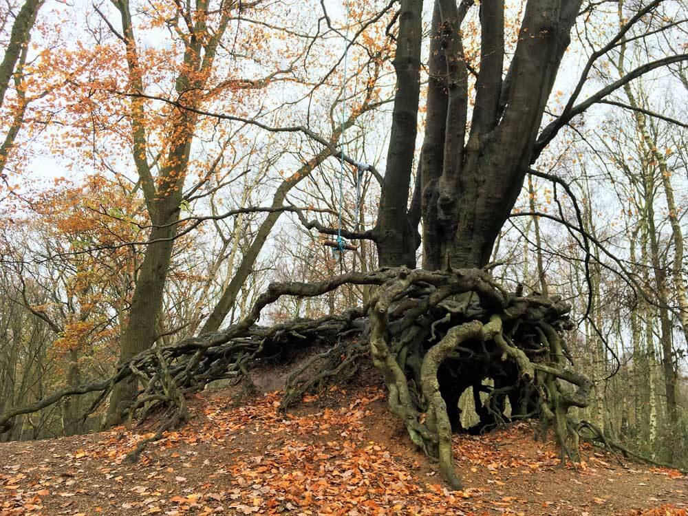 tree with exposed roots at mardley heath