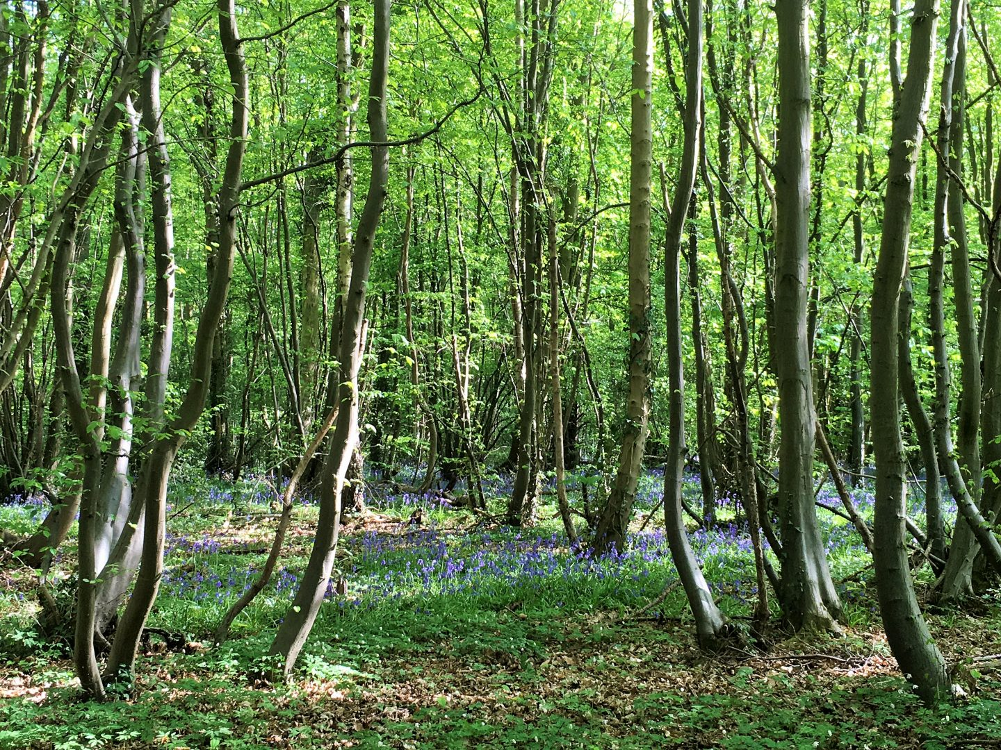 Bluebells in Hertfordshire