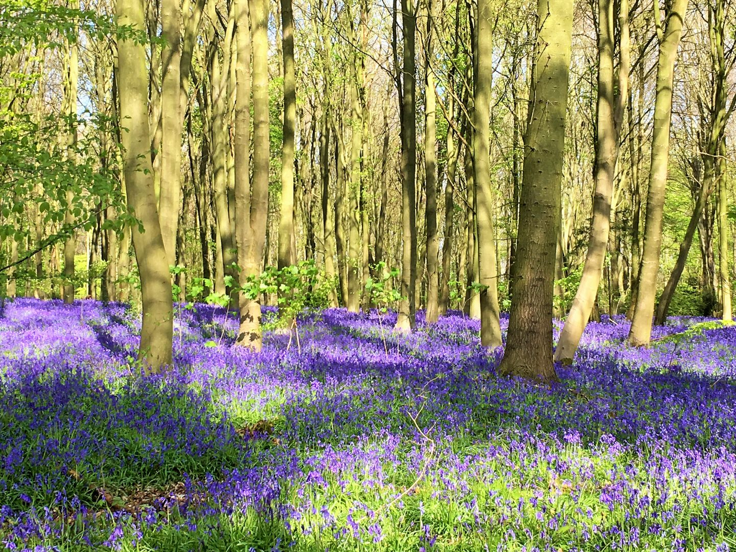 Bluebells at Perrywood Lane woods
