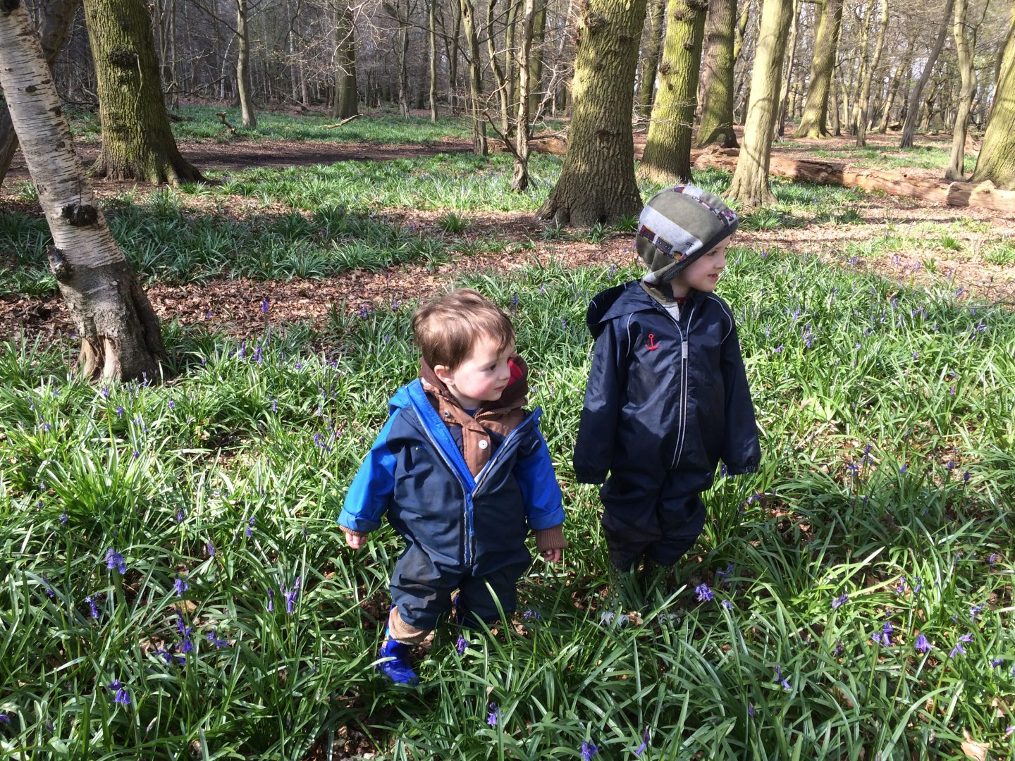 Bluebells in Hertfordshire Bluebells at Panshanger woods, Hertford, early April 2016