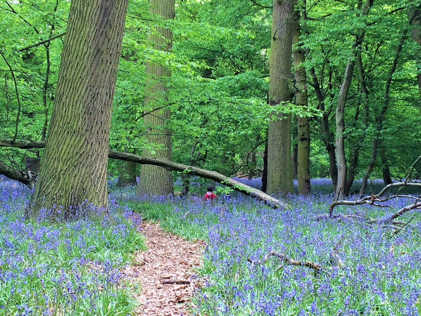 Bluebells in Hertfordshire Bluebells at Panshanger Woods, Hertford, mid May 2016