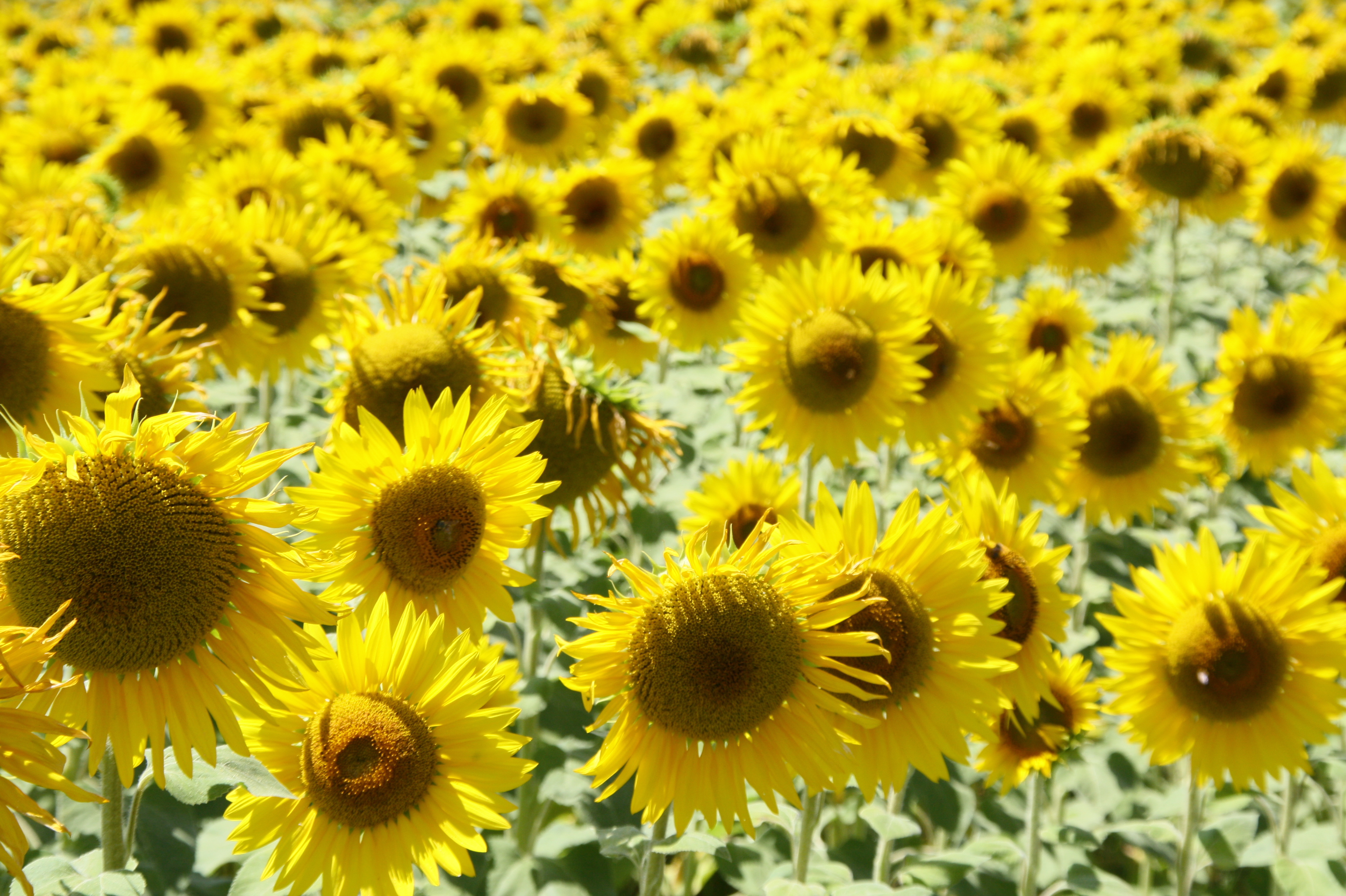 Umbrian sunflowers, umbria for kids, umbria family holidays, family friendly vacations to perugia, family activities in umbria