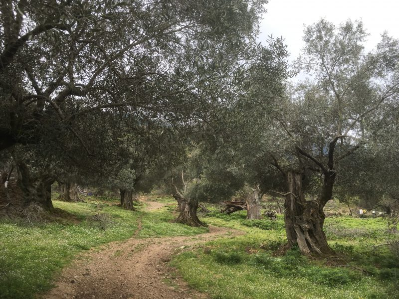 olive groves at Milia