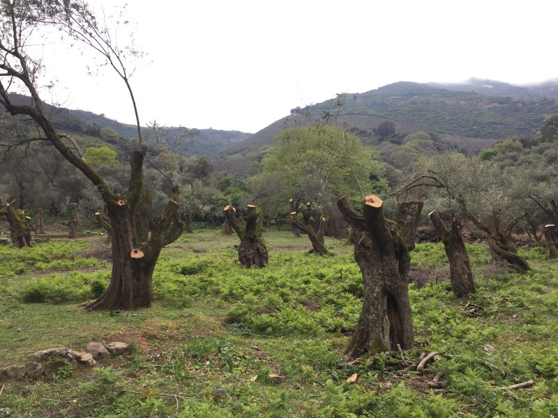 Olive grove restoration