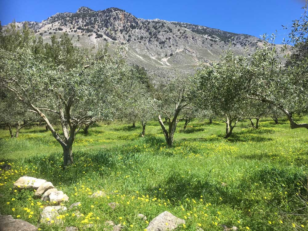 Crete olive groves and spring flowers with mountains in background