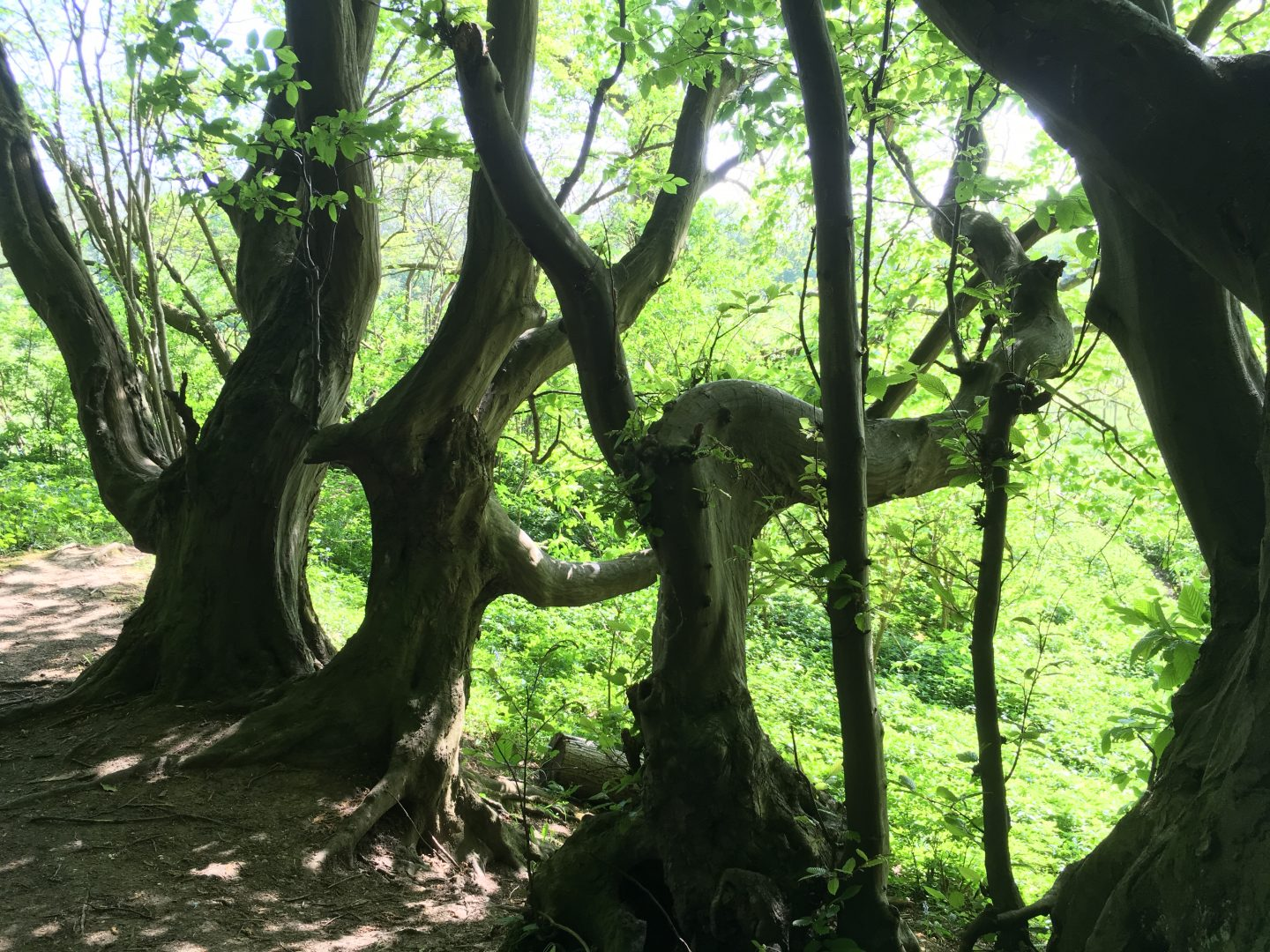 Hornbeams of Heartwood Forest