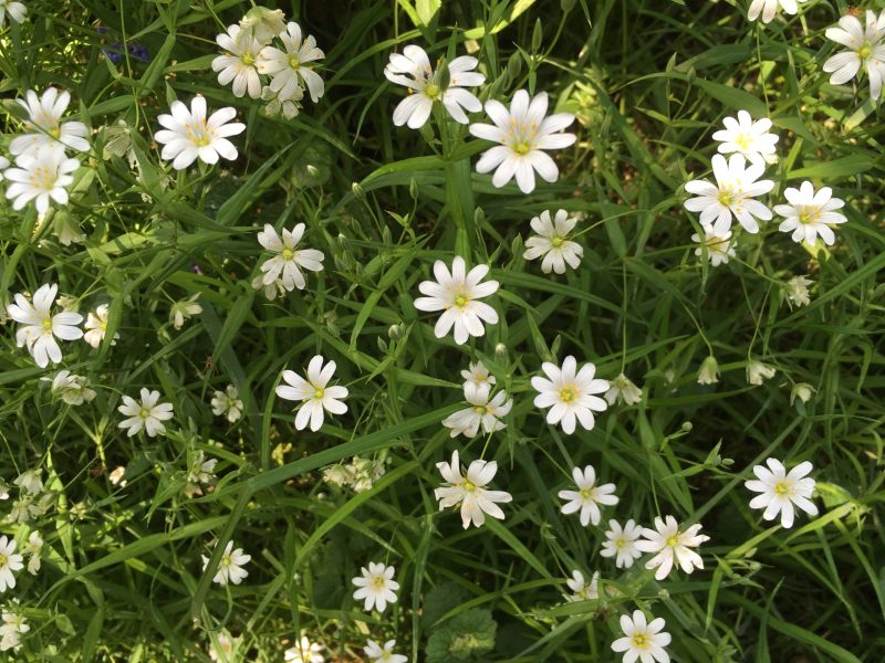 Stitchwort Heartwood Forest