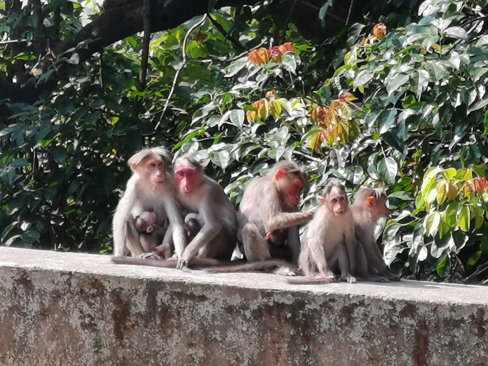 Monkeys on the road to Munnar, family friendly Kerala