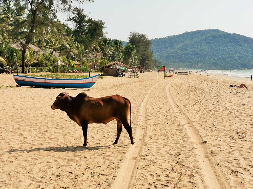 cow on beach in India