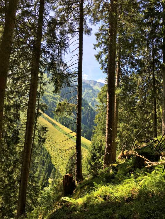 alpine forest scenery in the swiss alps