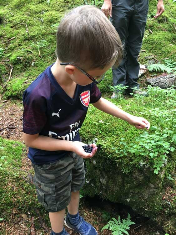 boy foraging for blueberries in a forest in the Swiss Alps during a family walking holiday