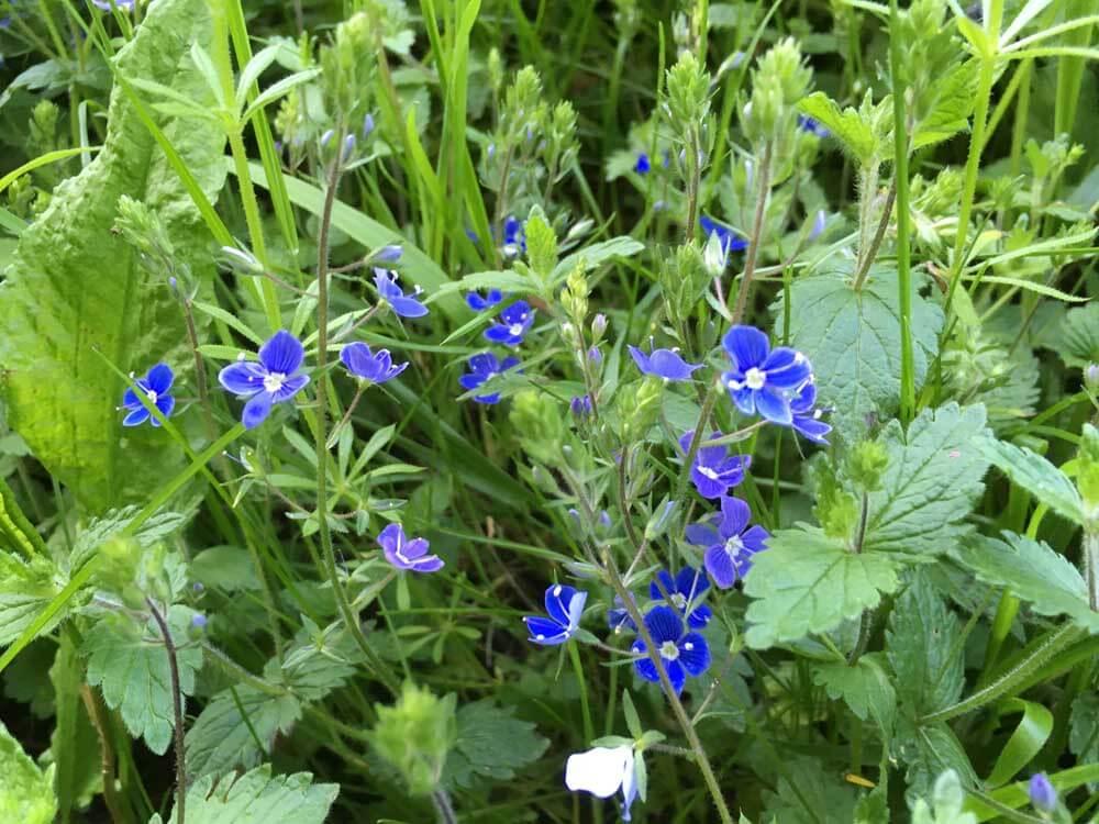 Birdseye Speedwell, blue wild flowers in Hertfordshire, Birdseye Speedwell