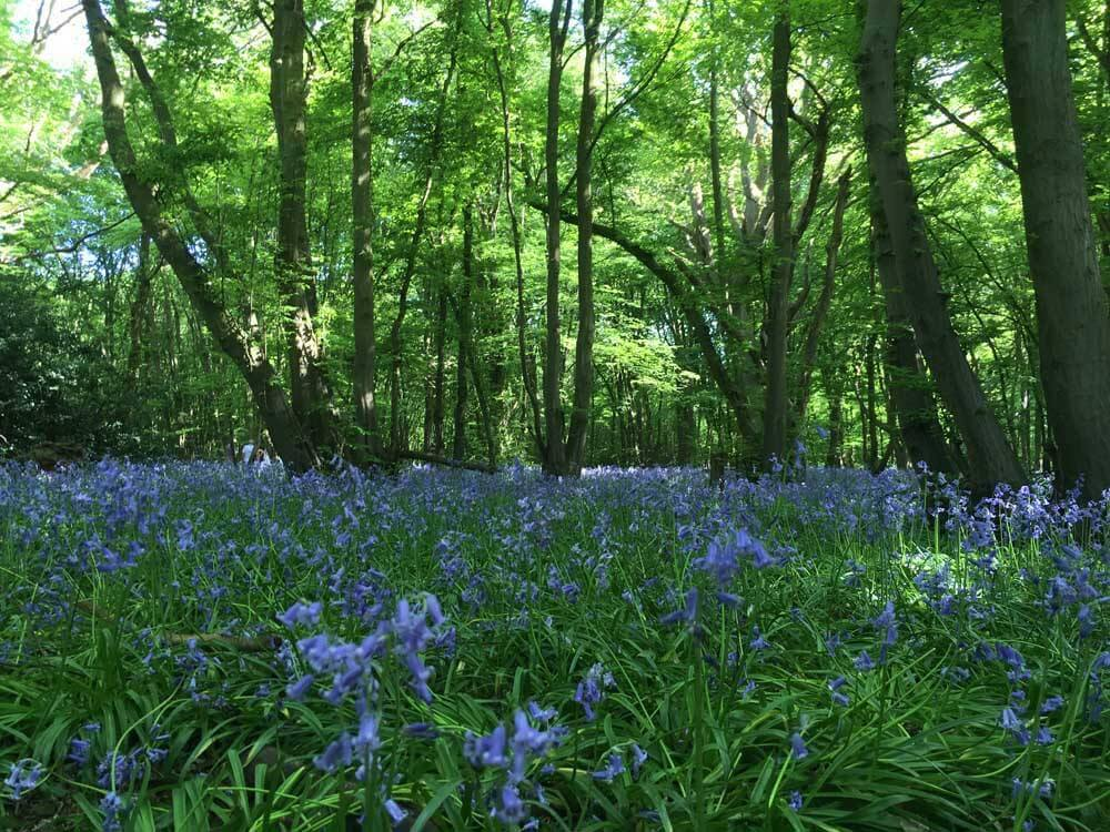 Bluebells at Heartwood Forest in Hertfordshire