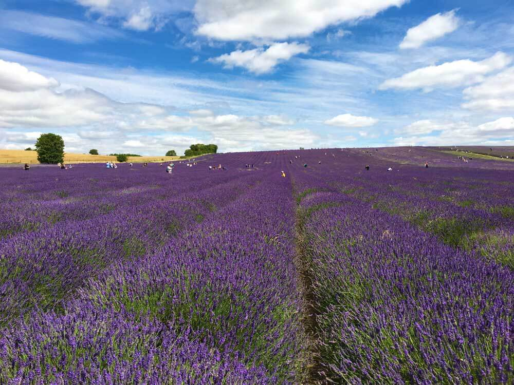Hitchin Lavender fields: one of the best places to visit in Hertfordshire