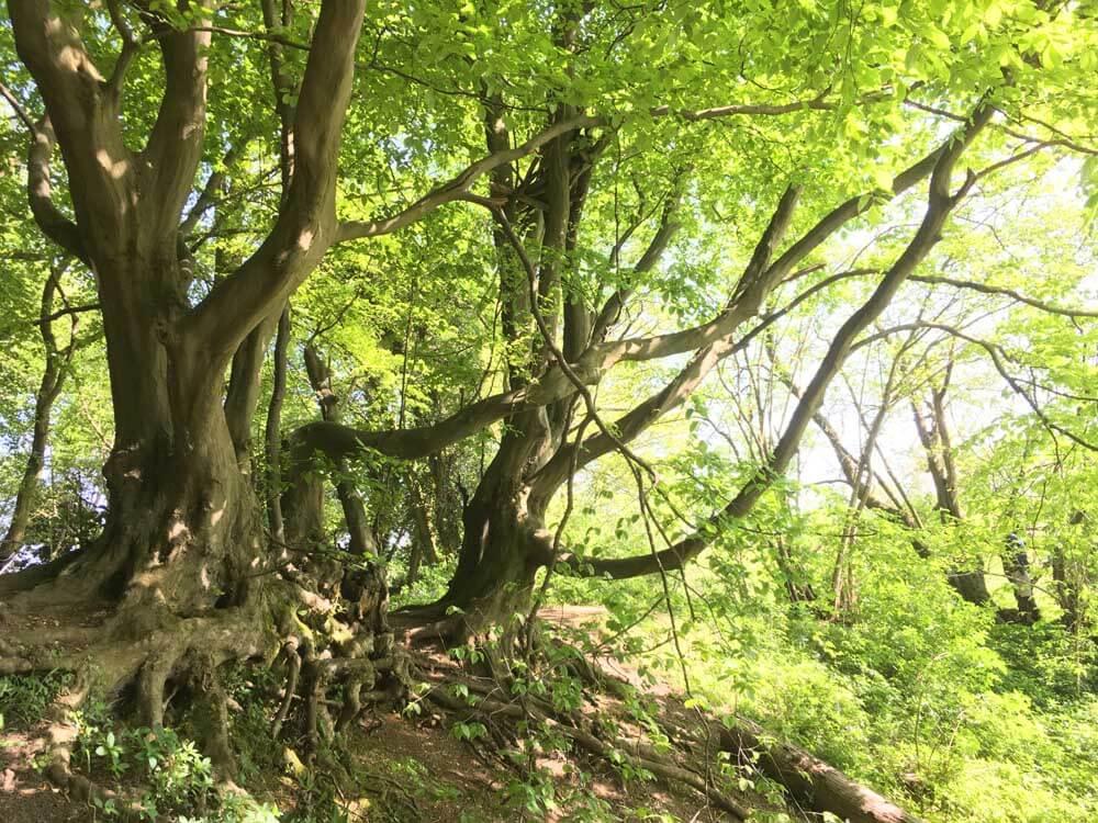 Langley Wood in Hertfordshire