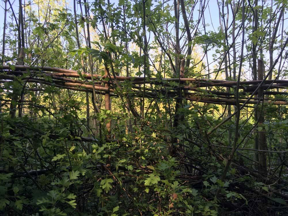 Woven hedgerow at Heartwood Forest in Hertfordshire