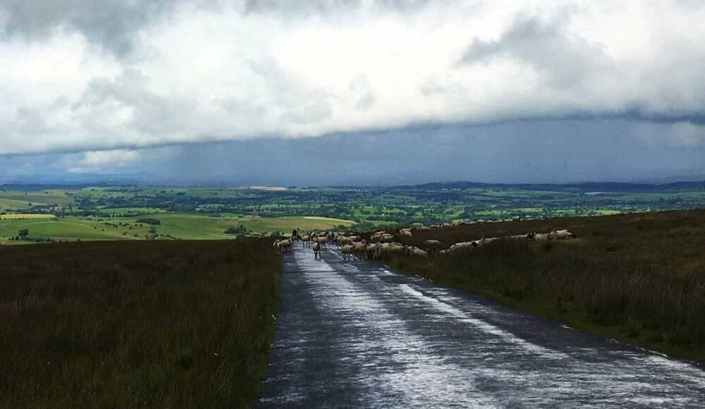 flock of sheep crossing road, uk road trip
