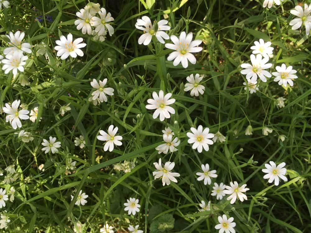 Stitchwort, white wild flowers in Hertfordshire